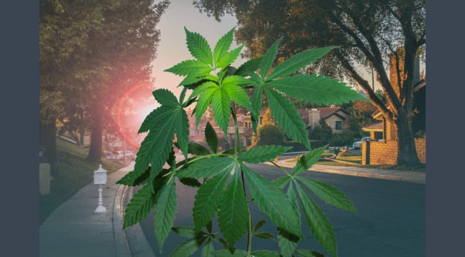 Illegal Grows Overrun a County in California